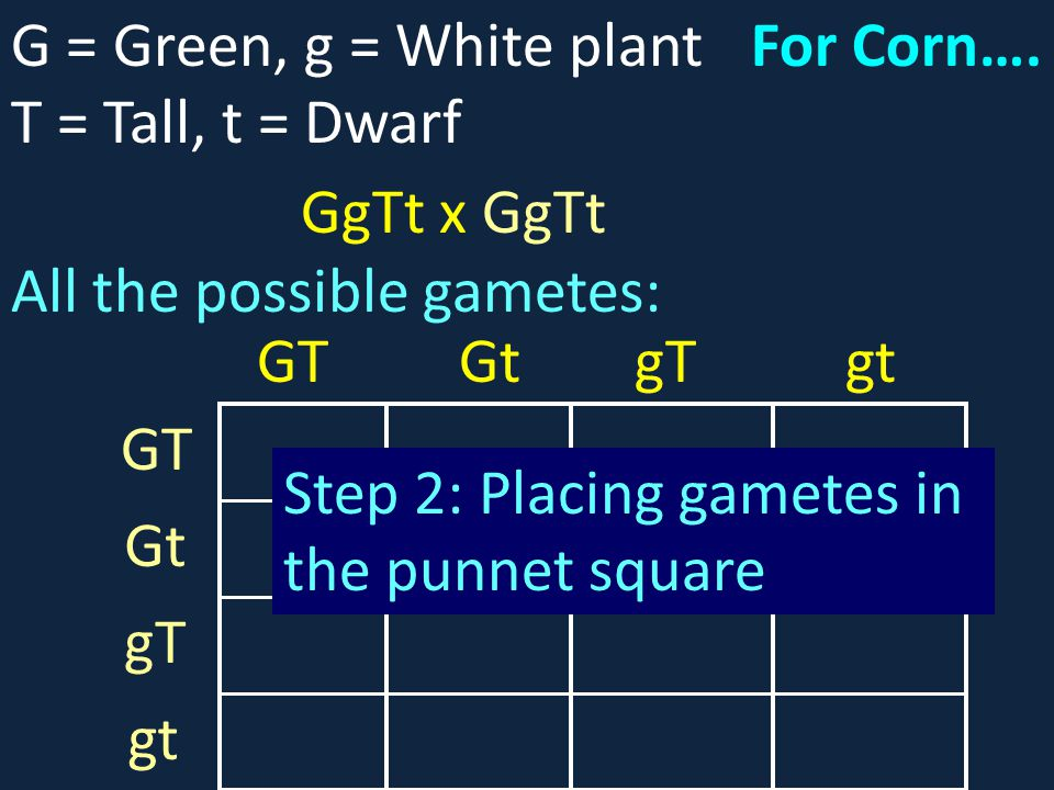 G = Green, g = White plant T = Tall, t = Dwarf. For Corn…. GgTt x GgTt. All the possible gametes:
