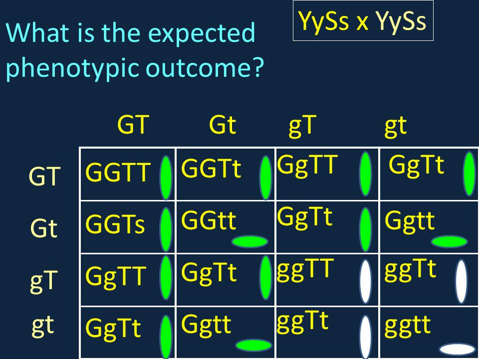 YySs x YySs What is the expected phenotypic outcome GT. Gt. gT. gt. GgTT. GgTt. GGTt. GGTT.