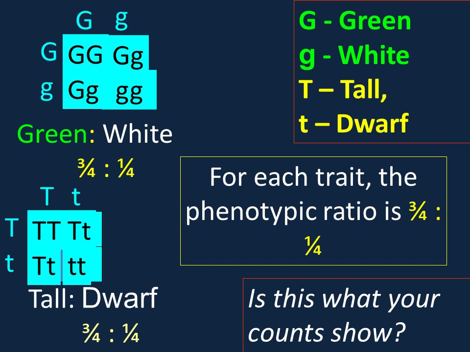 For each trait, the phenotypic ratio is ¾ : ¼