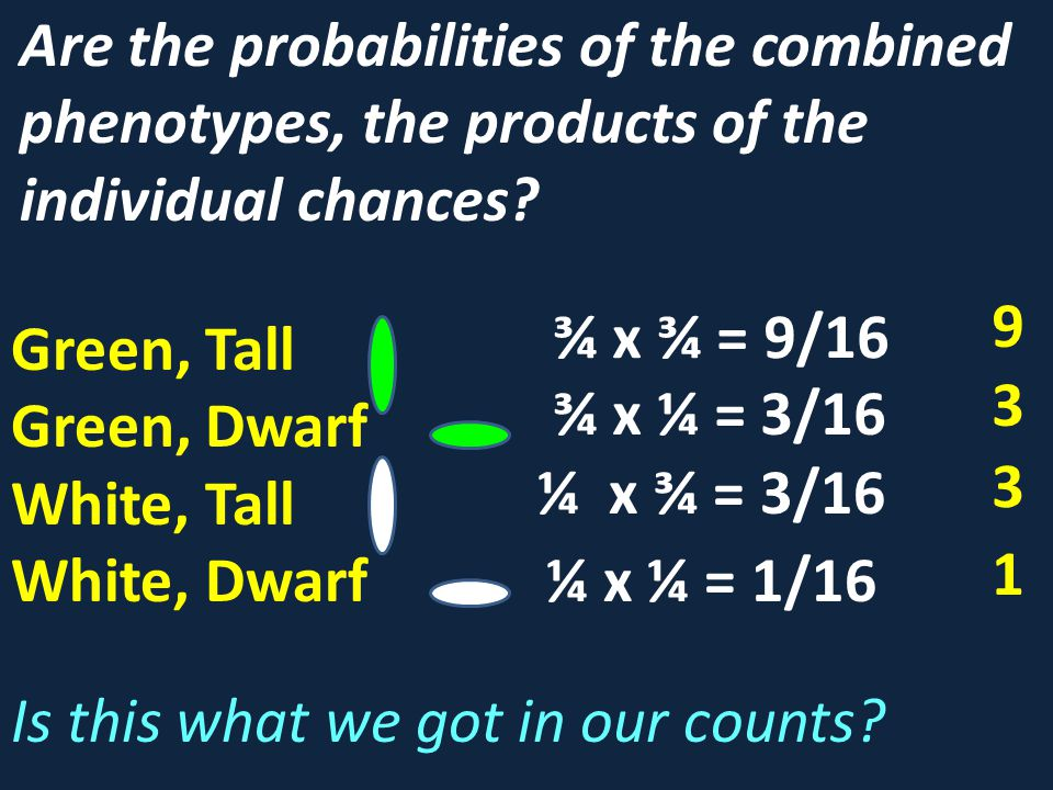 Are the probabilities of the combined phenotypes, the products of the individual chances