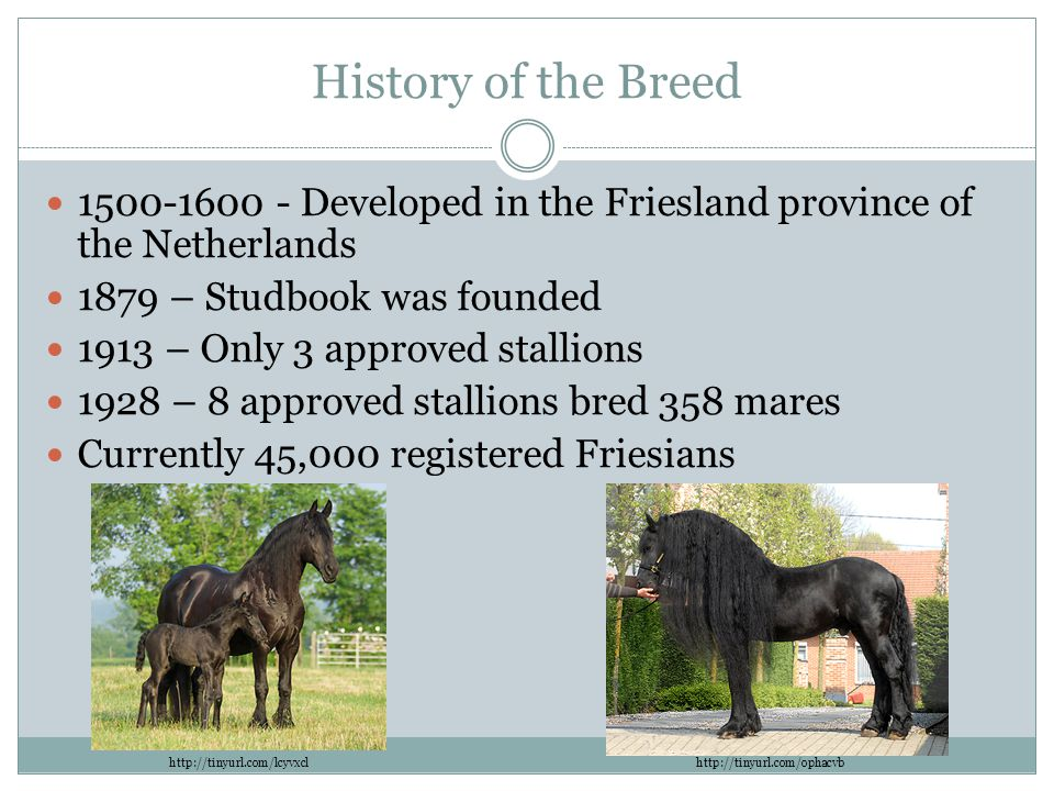 History of the Breed 1500-1600 - Developed in the Friesland province of the Netherlands. 1879 – Studbook was founded.