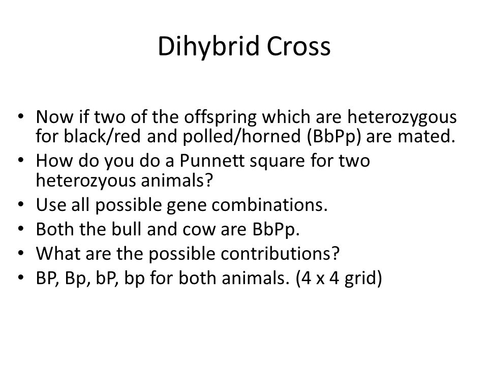 Dihybrid Cross Now if two of the offspring which are heterozygous for black/red and polled/horned (BbPp) are mated.