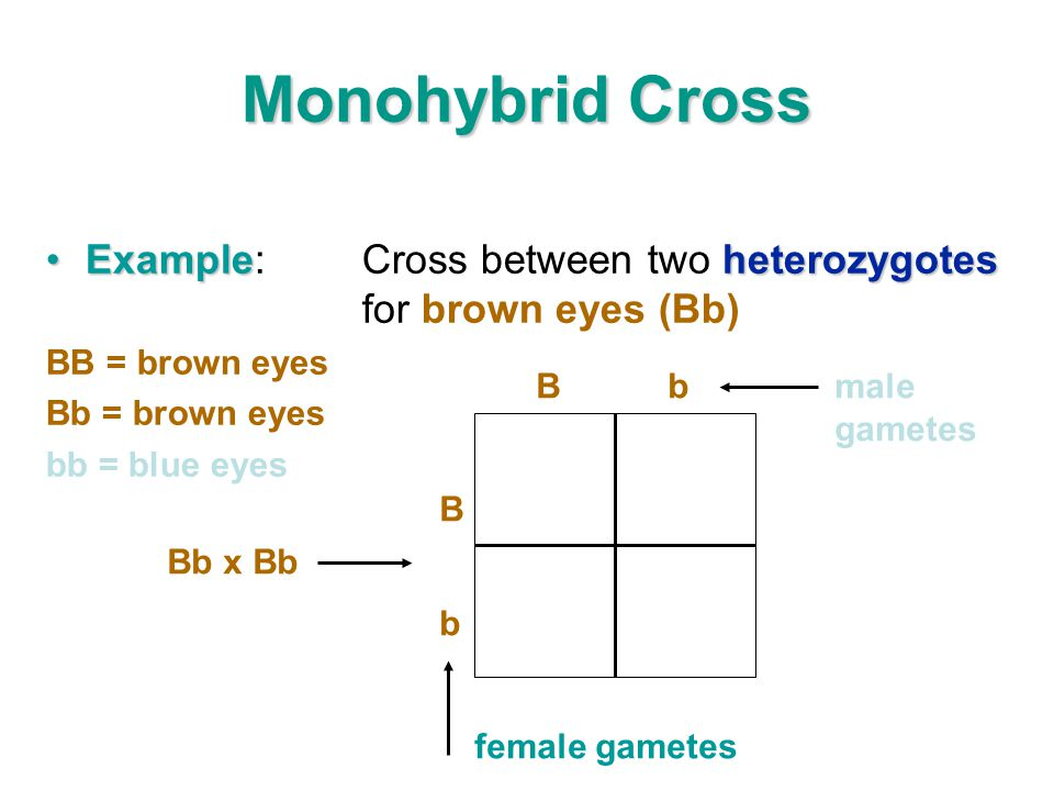 Monohybrid Cross Example: Cross between two heterozygotes for brown eyes (Bb) BB = brown eyes. Bb = brown eyes.