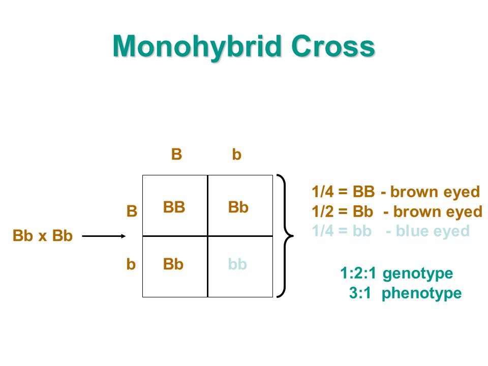 Monohybrid Cross B b Bb x Bb 1/4 = BB - brown eyed