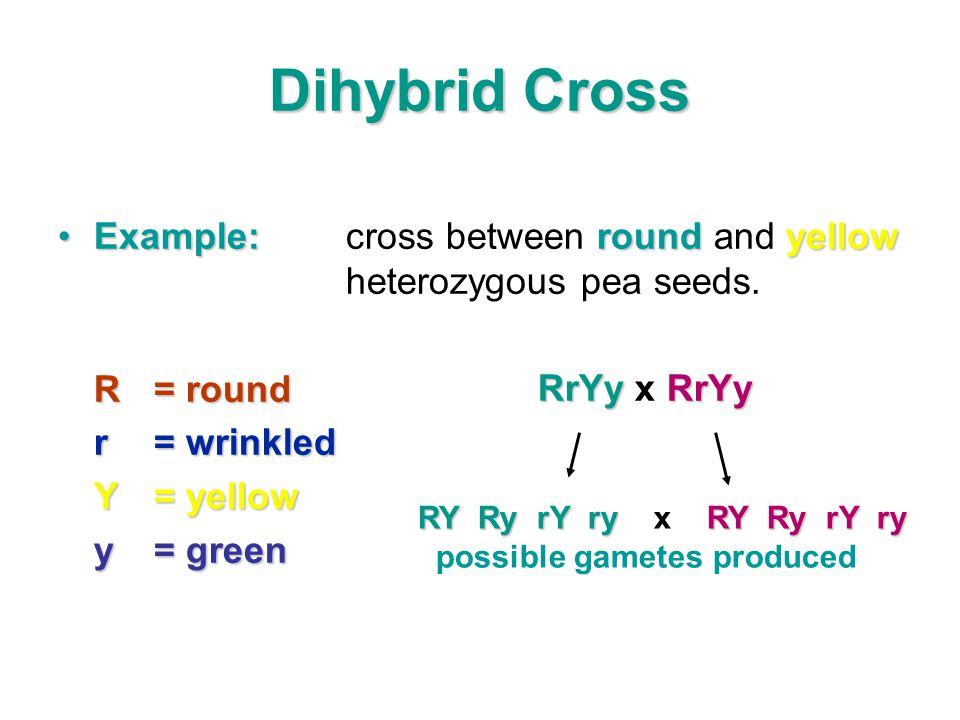Dihybrid Cross Example: cross between round and yellow heterozygous pea seeds. R = round. r = wrinkled.