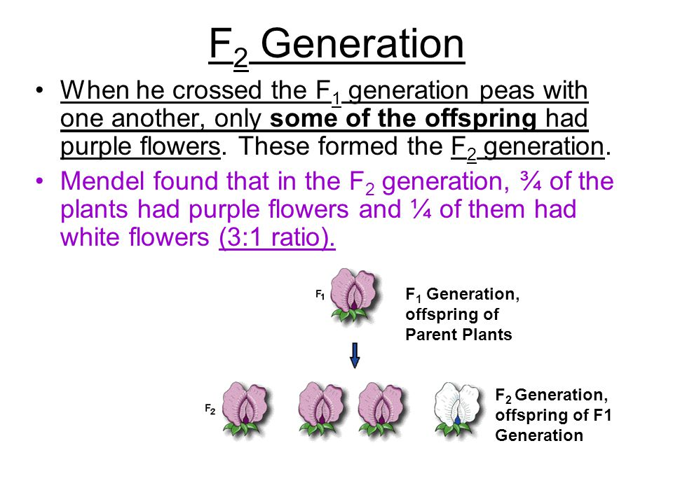 F2 Generation When he crossed the F1 generation peas with one another, only some of the offspring had purple flowers. These formed the F2 generation.
