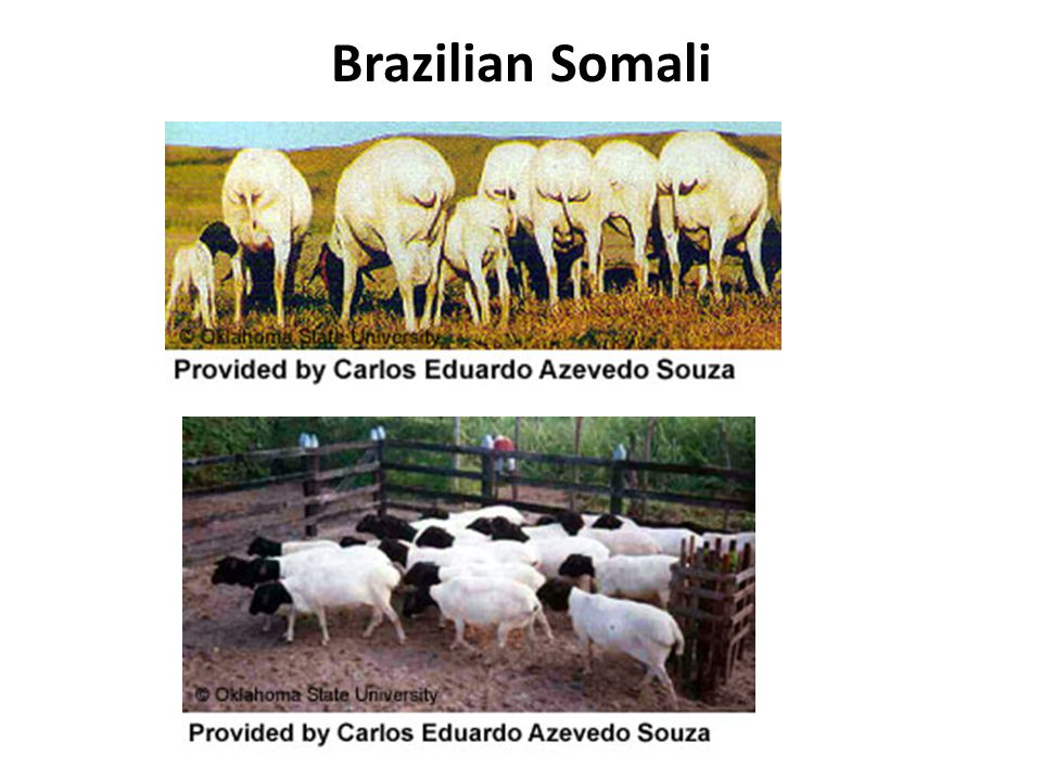 Brazilian Somali