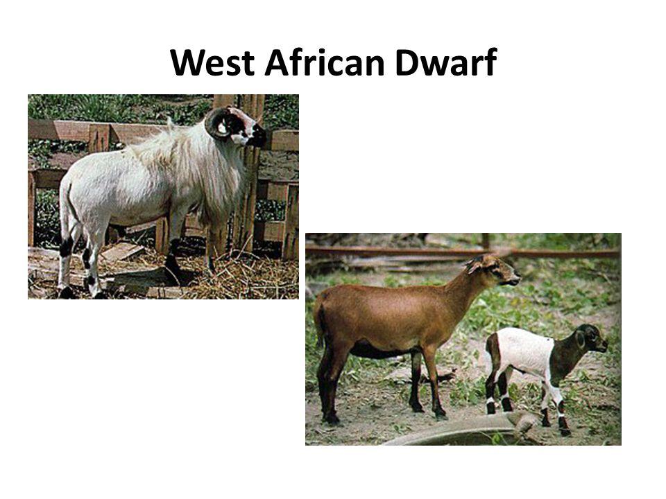 West African Dwarf