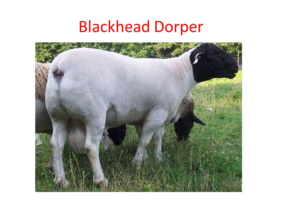 Blackhead Dorper
