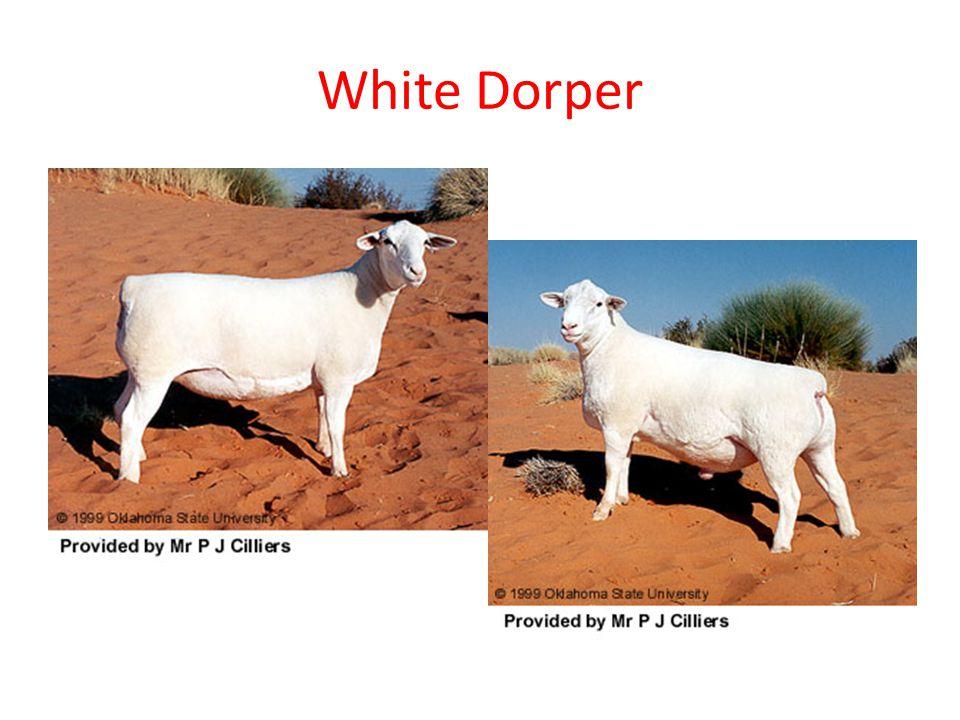 White Dorper