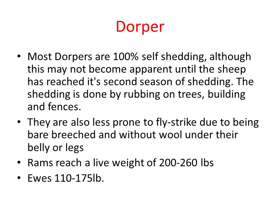 Dorper