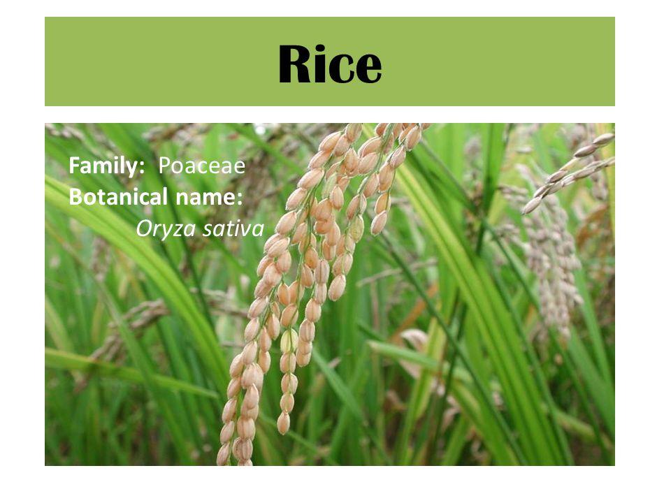 Rice Family: Poaceae Botanical name: Oryza sativa