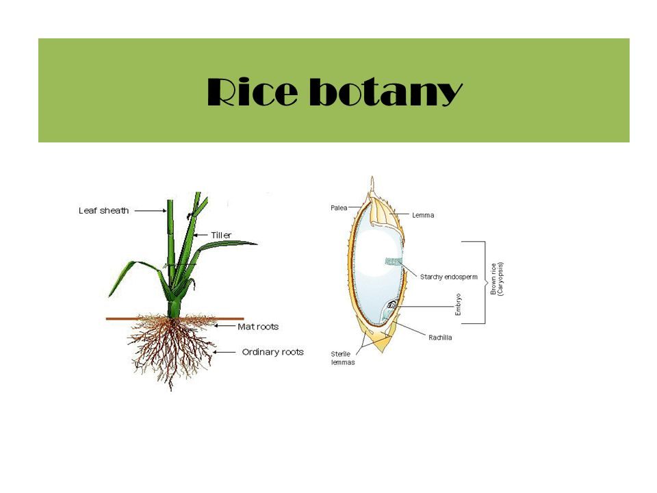 Rice botany