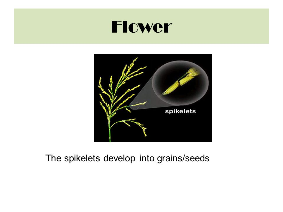 Flower The spikelets develop into grains/seeds