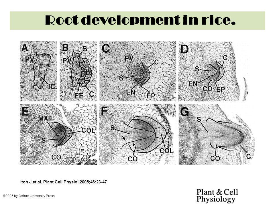 Root development in rice.