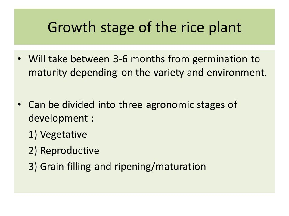 Growth stage of the rice plant