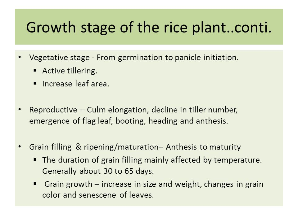 Growth stage of the rice plant..conti.