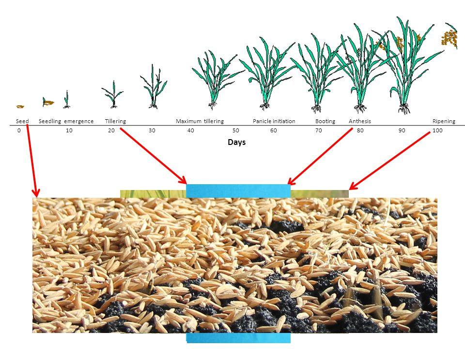 """anthesis of rice K z xu, """"the dynamic changes of nitrogen content and photosynthesis and their correlations in pot rice leaves after anthesis,"""" acta agronomica sinica,."""