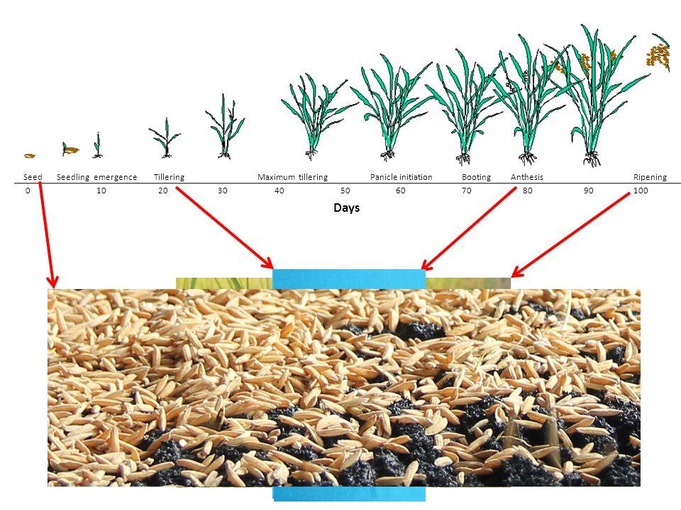 Days Seed Seedling emergence Tillering Maximum tillering