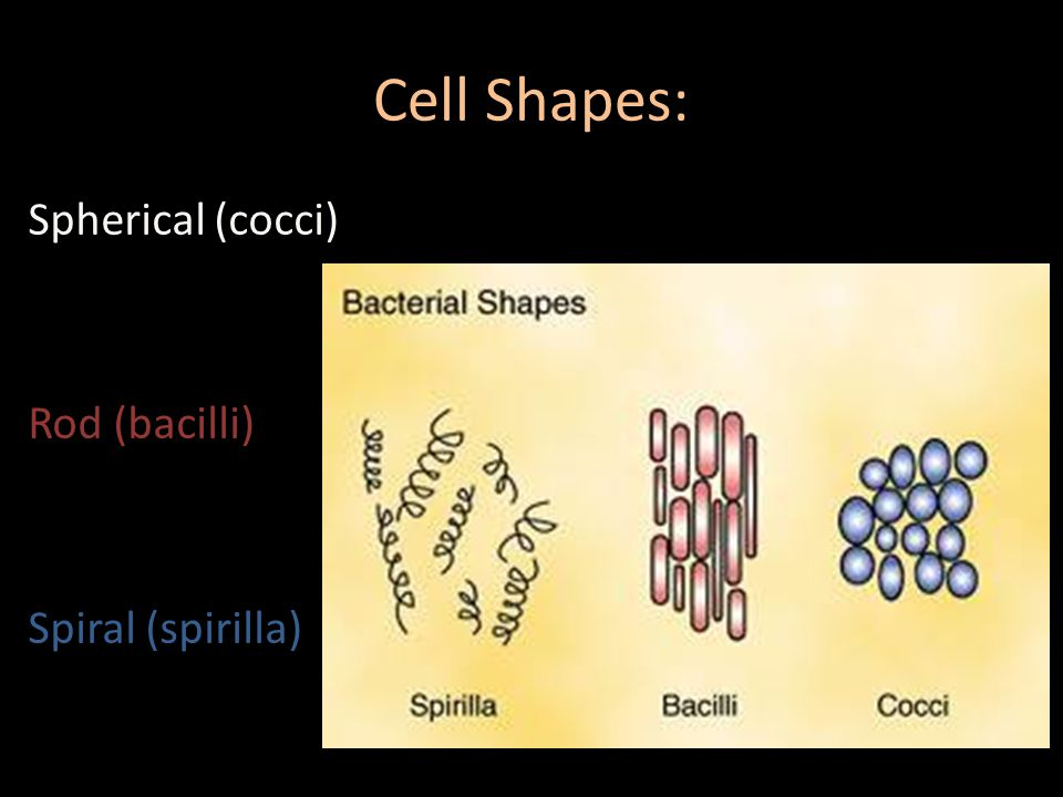 Cell Shapes: Spherical (cocci) Rod (bacilli) Spiral (spirilla)