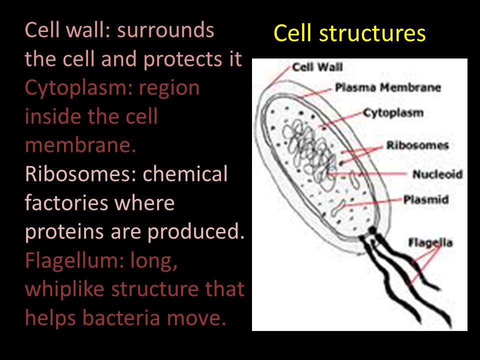 Cell structures Cell wall: surrounds the cell and protects it