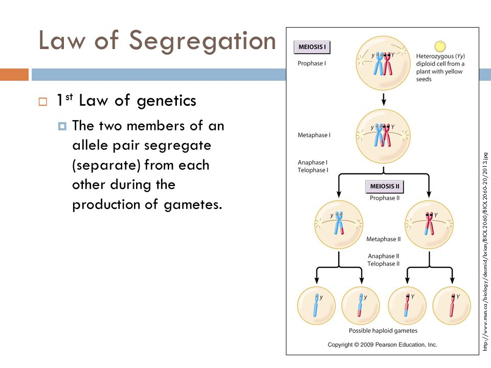 Law of Segregation 1st Law of genetics