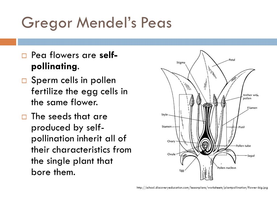 Gregor Mendel's Peas Pea flowers are self- pollinating.