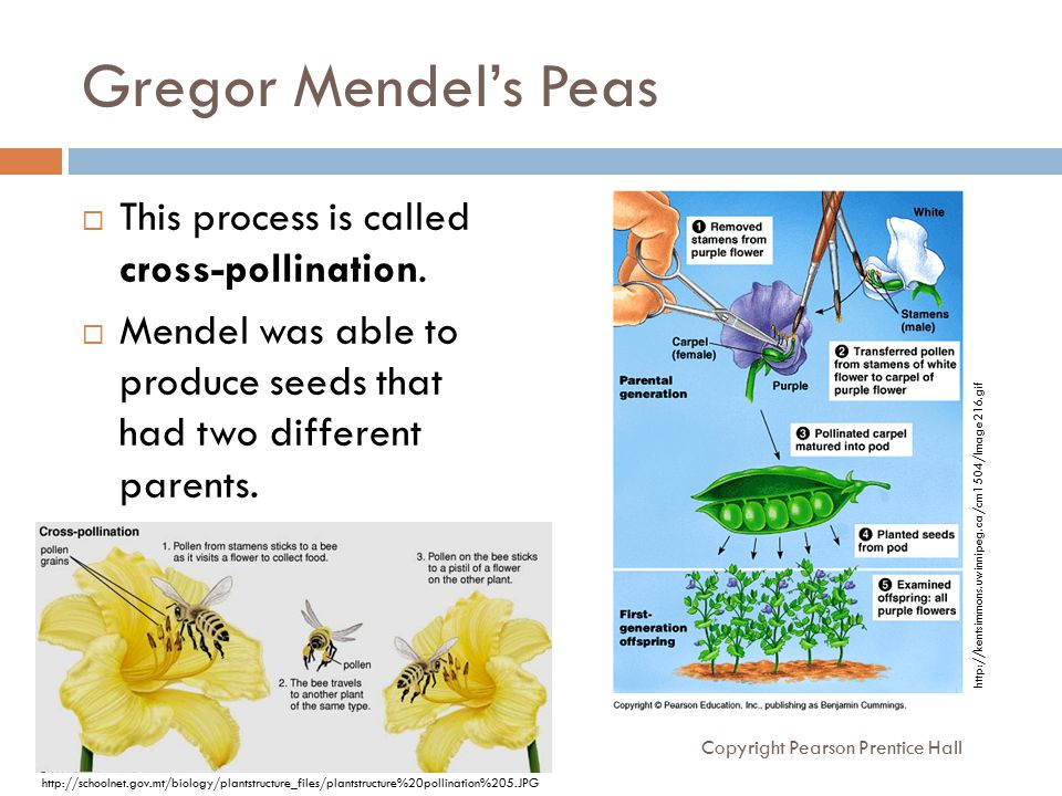 gregor mendel for kids Fun facts about gregor mendel he was born in a small town of austria on july 22, 1822 the name of the town was heizendorf today, this town has become a city, and.