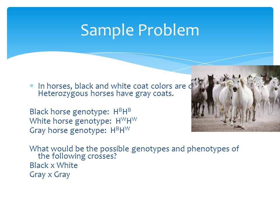 Sample Problem In horses, black and white coat colors are codominant. Heterozygous horses have gray coats.
