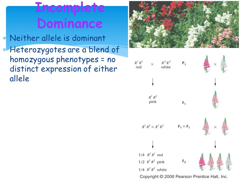 Incomplete Dominance Neither allele is dominant