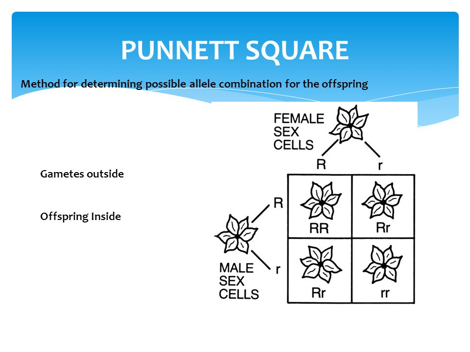PUNNETT SQUARE Method for determining possible allele combination for the offspring. Gametes outside.