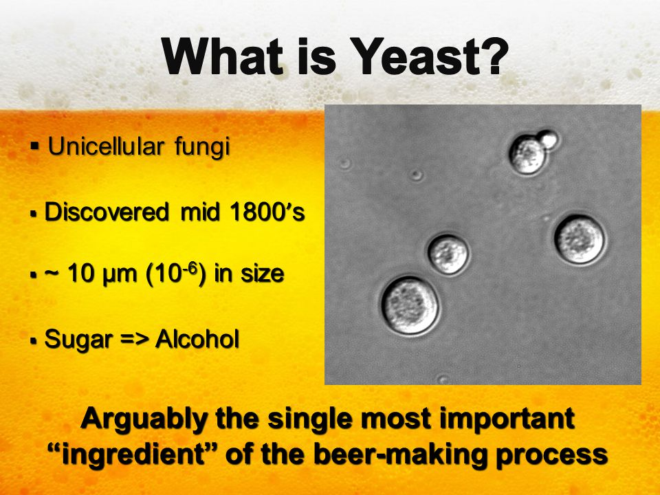 What is Yeast Unicellular fungi. Discovered mid 1800's. ~ 10 µm (10-6) in size. Sugar => Alcohol.