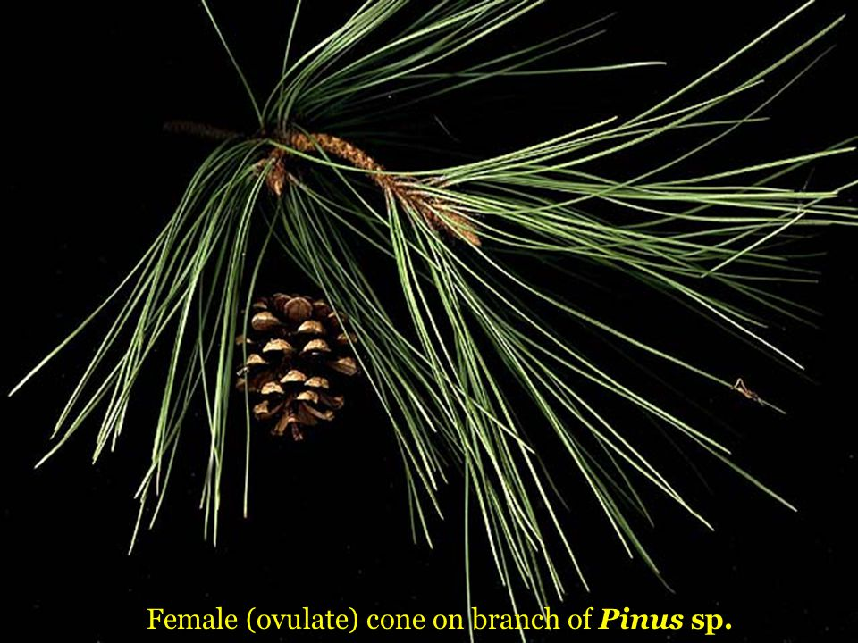 Female (ovulate) cone on branch of Pinus sp.