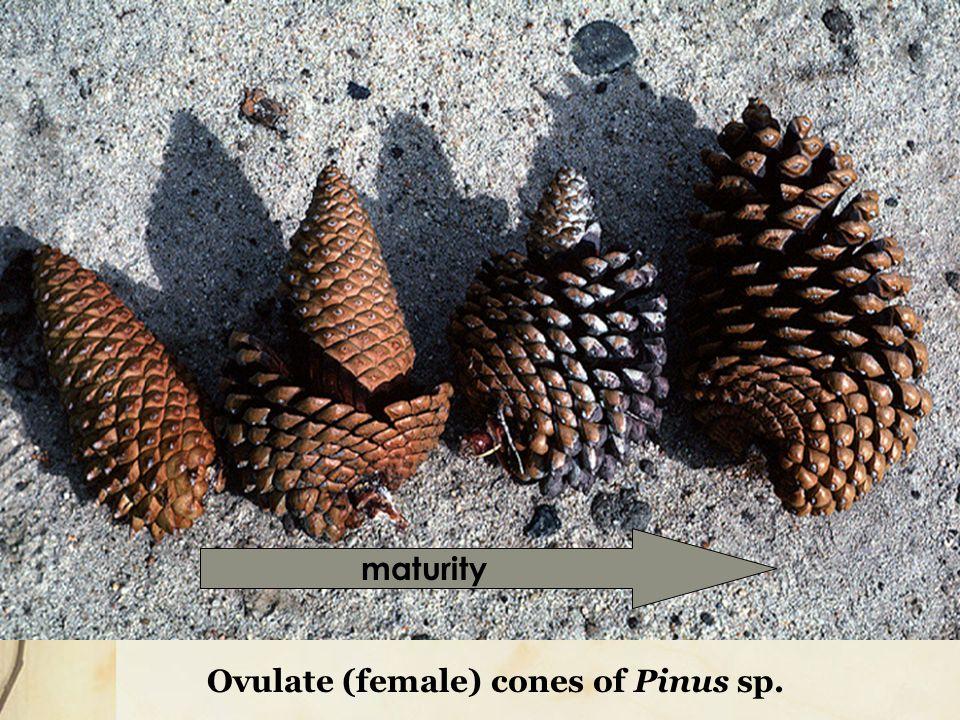 Ovulate (female) cones of Pinus sp.