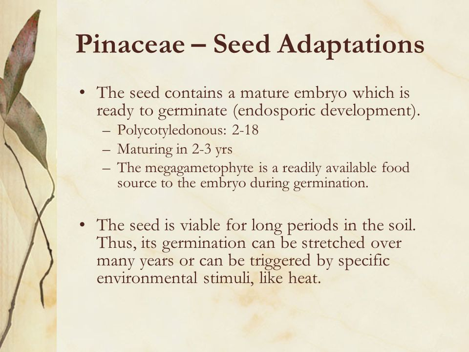 Pinaceae – Seed Adaptations