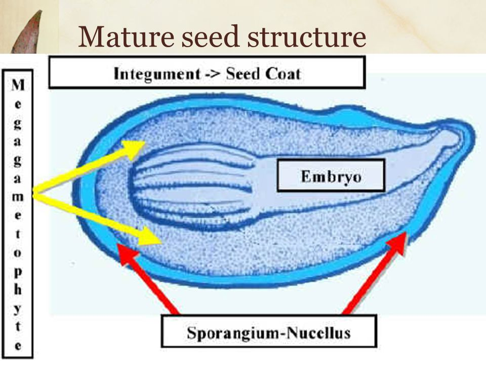 Mature seed structure