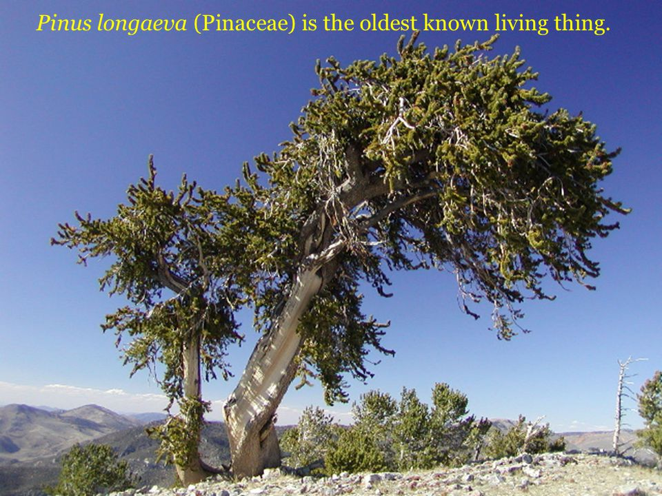 Pinus longaeva (Pinaceae) is the oldest known living thing.