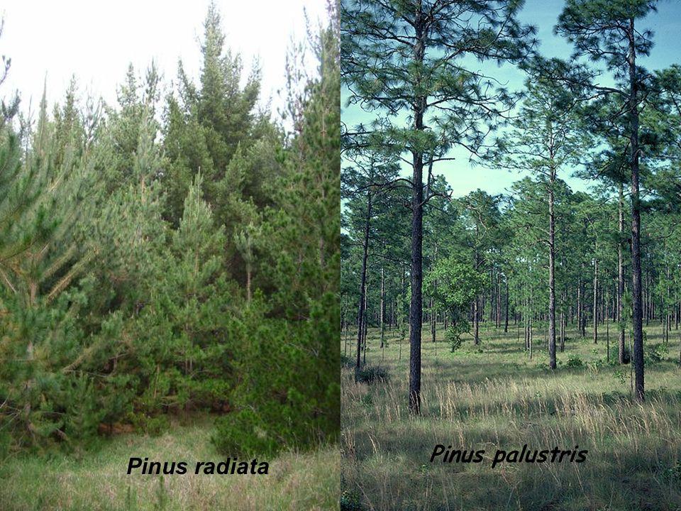 Pinus palustris Pinus radiata
