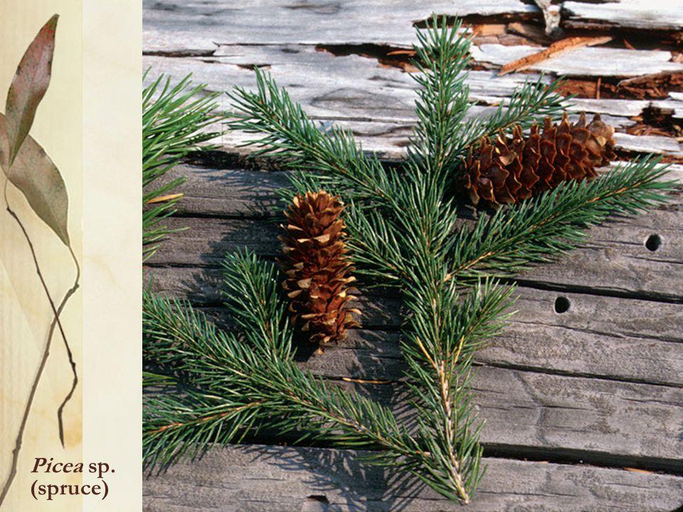 Picea sp. (spruce)