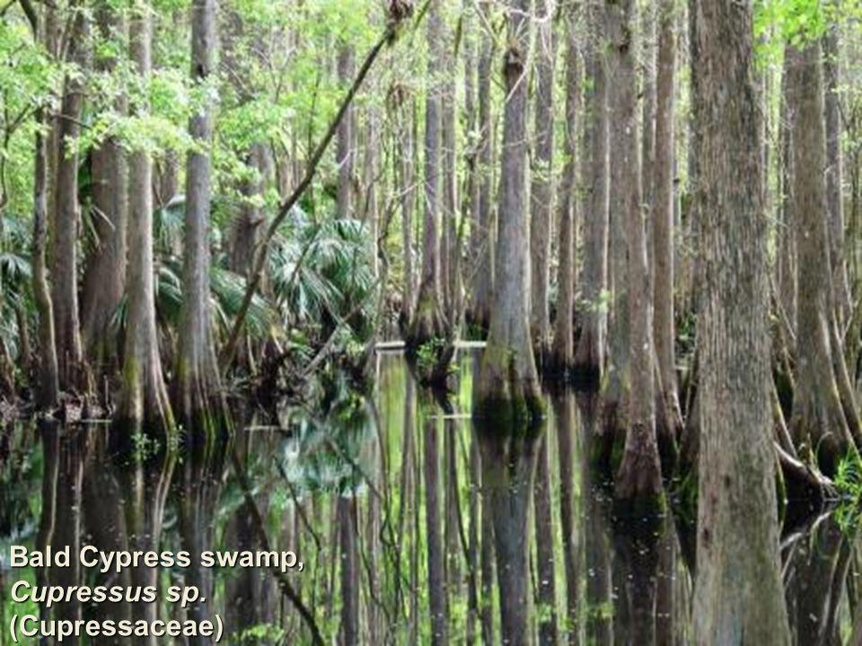 Bald Cypress swamp, Cupressus sp. (Cupressaceae)