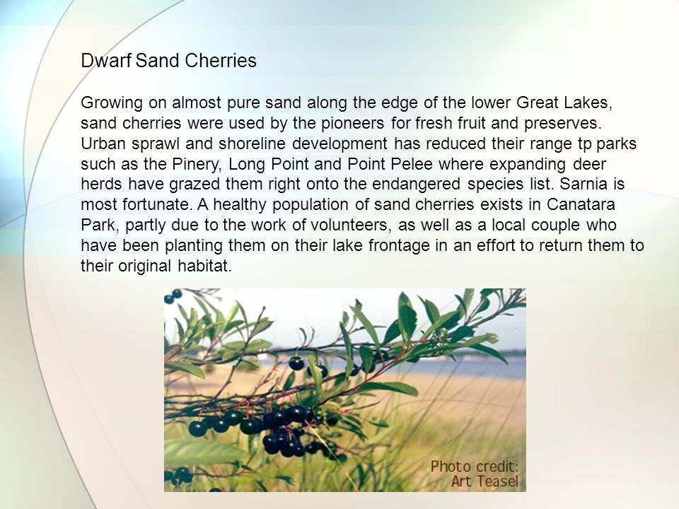 Dwarf Sand Cherries Growing on almost pure sand along the edge of the lower Great Lakes, sand cherries were used by the pioneers for fresh fruit and preserves.