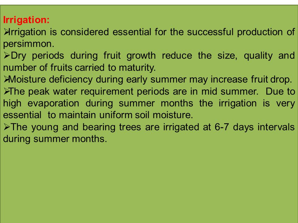 Irrigation: Irrigation is considered essential for the successful production of persimmon.
