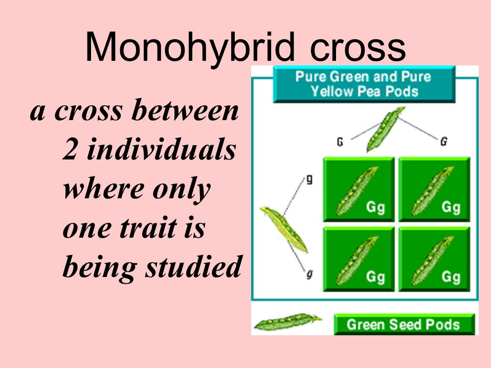 Monohybrid cross a cross between 2 individuals where only one trait is being studied