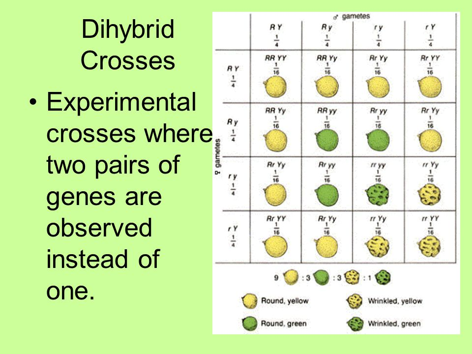 Dihybrid Crosses Experimental crosses where two pairs of genes are observed instead of one.