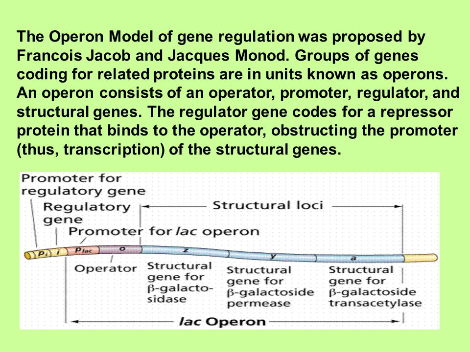 The Operon Model of gene regulation was proposed by Francois Jacob and Jacques Monod.