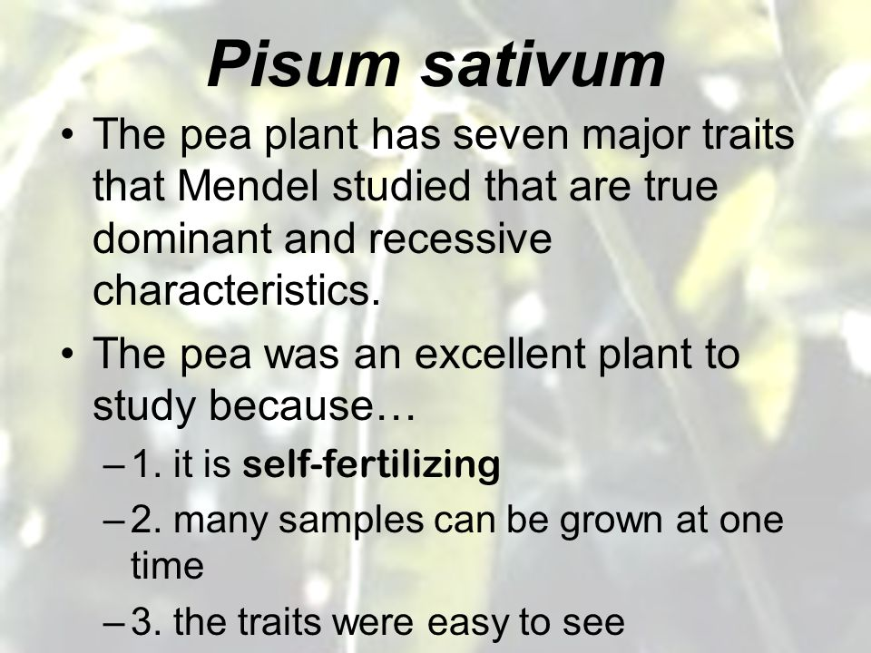 Pisum sativum The pea plant has seven major traits that Mendel studied that are true dominant and recessive characteristics.