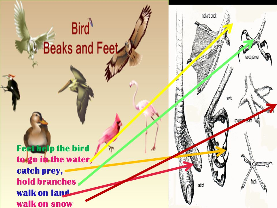 Feet help the bird to go in the water, catch prey, hold branches , walk on land walk on snow
