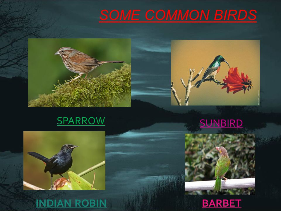 SOME COMMON BIRDS SPARROW SUNBIRD INDIAN ROBIN BARBET