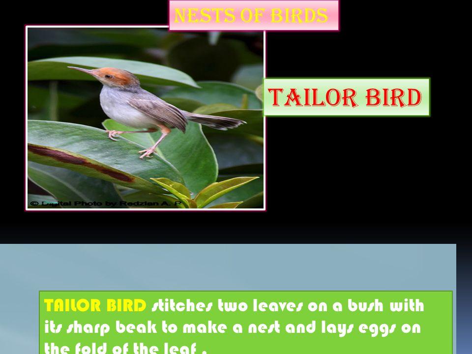 Tailor bird NESTS OF BIRDS