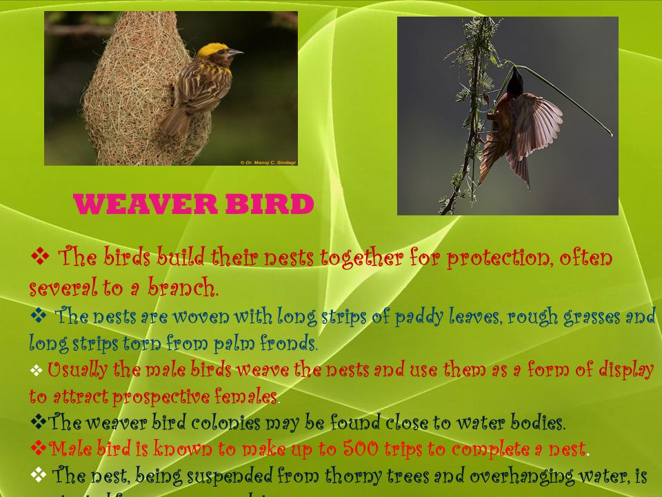 WEAVER BIRD The birds build their nests together for protection, often several to a branch.